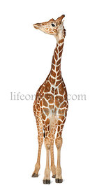 Somali Giraffe, commonly known as Reticulated Giraffe, Giraffa camelopardalis reticulata, 2 and a half years old standing aga...