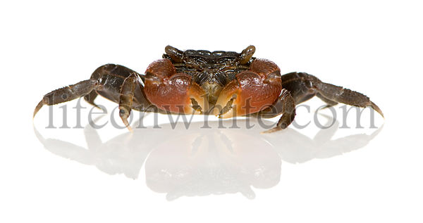 red-clawed crab - Perisesarma bidens