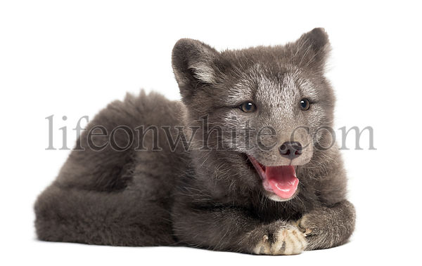 Arctic fox cub, Vulpes lagopus lying down, panting, 2 months old, isolated on white