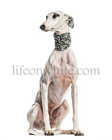 Whippet , Galgo espanol, dog, looking away, isolated on white (6 years old)