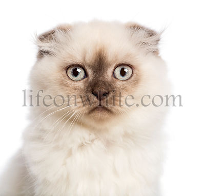 Close up of a Highland fold kitten looking at camera against white background