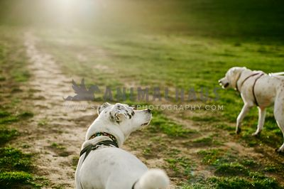 Two white dogs walking down a trail towards the sunset