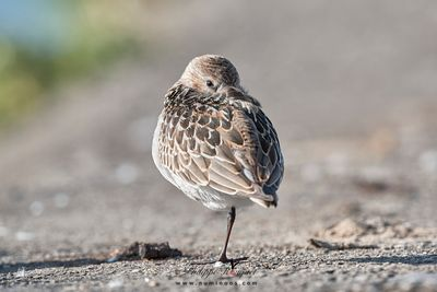 One-eye, one-leg sunbathing dunlin
