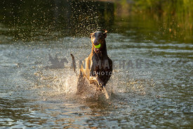 A doberman prancing in shallow water