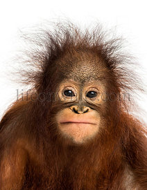 Close-up of a young Bornean orangutan facing, looking at the camera, Pongo pygmaeus, 18 months old, isolated on white