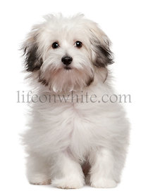 Bolognese puppy, 6 months old, sitting in front of white background