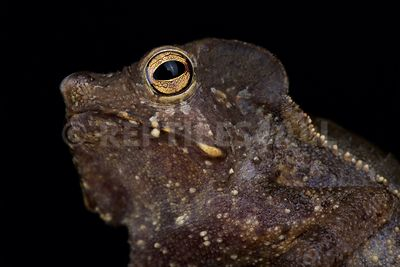 Marty's Mitred Toad (Rhinella martyi)