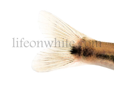 Close-up of an Eurasian minnow\'s caudal skin, Phoxinus phoxinus, isolated on white