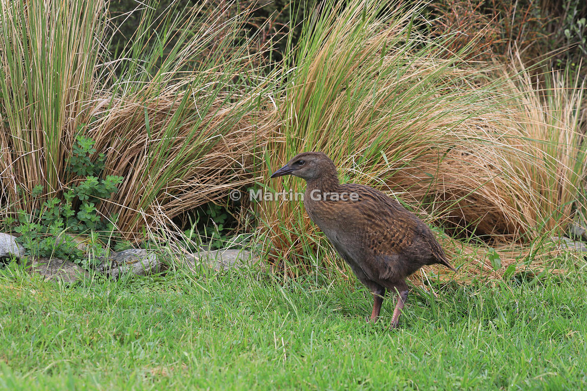 Juvenile Western Weka (Gallirallus australis australis), Ruatapu, Hokitika, West Coast, South Island, New Zealand