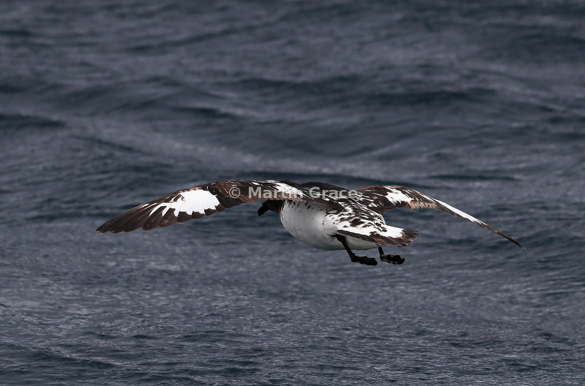 Cape Petrel (Daption capense) in flight, immediately after take-off, Kaikoura, Canterbury, South Island, New Zealand