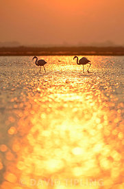 Greater Flamingos (Phoenicopterus roseus)  Camargue Provence France