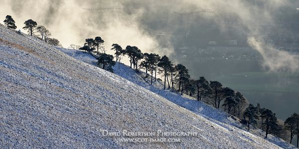 Prints & Stock Image - Scots Pine trees in snow on Wood Hill, the Ochils, Clackmannanshire, Scotland