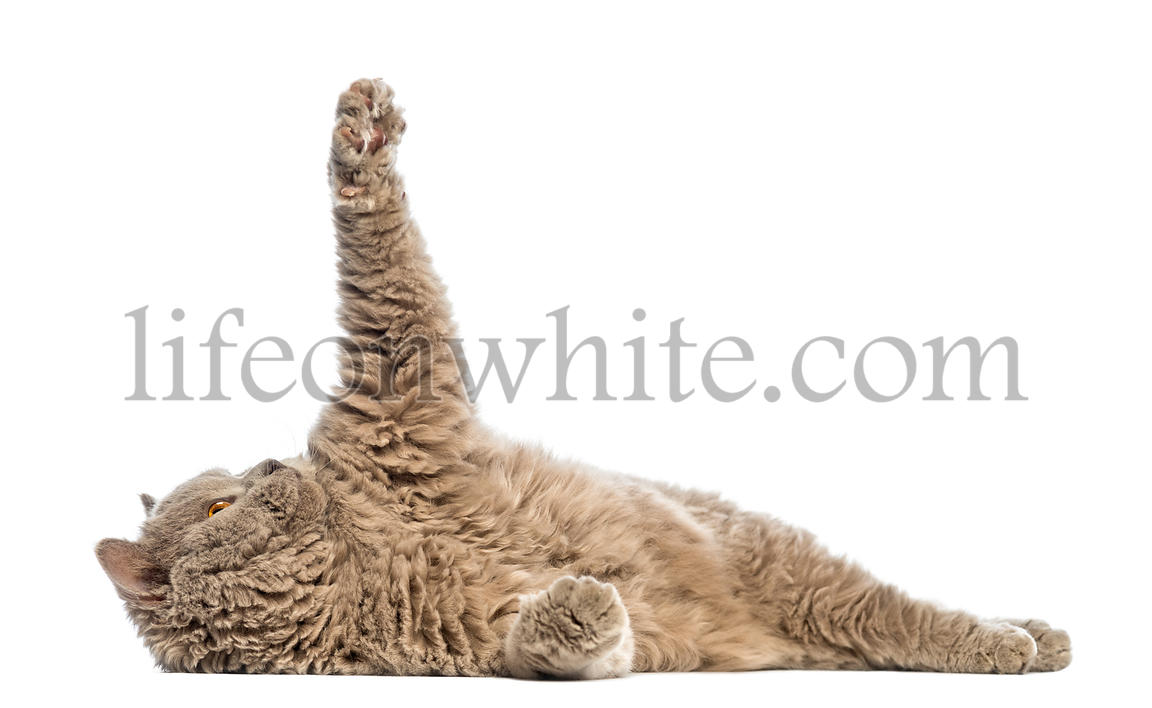 Selkirk Rex lying and reaching against white background