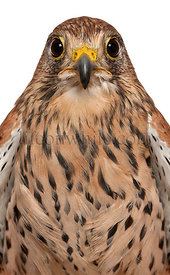 Portrait of Common Kestrel, Falco tinnunculus, a bird of prey in front of white background