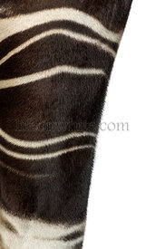 Close-up of an Okapi\'s fur, Okapia johnstoni, isolated on white