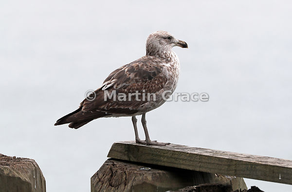 Juvenile Southern Black-Backed Gull (Larus dominicanus dominicanus), perched on the wharf at Auckland Waterfront, South Islan...
