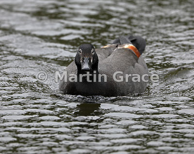Male Paradise Shelduck (Tadorna variegata) on water, Zealandia, Wellington, North Island, New Zealand