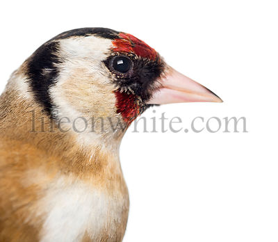 Close-up of a European Goldfinch, carduelis carduelis, isolated on white