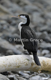 Pied Shag (Phalacrocorax varius varius) standing on a large piece of driftwood, Kapiti Island, Wellington, North Island, New ...