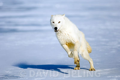 Arctic (White) Wolf native to Ellesmere Island / Greenland January