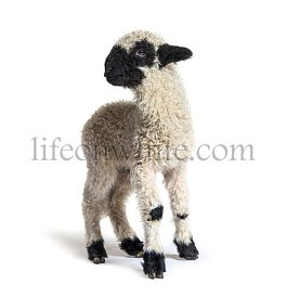 Standing Lamb Blacknose sheep looking away three weeks old, isolated on white