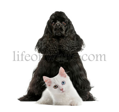 English Cocker Spaniel sitting, White kitten, in front of white background