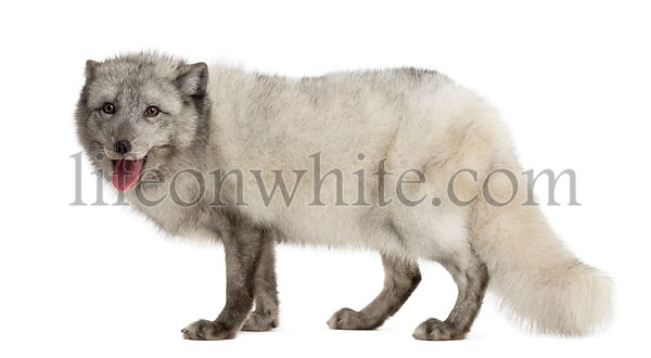 Side view of an Arctic fox standing, panting, Vulpes lagopus, isolated on white