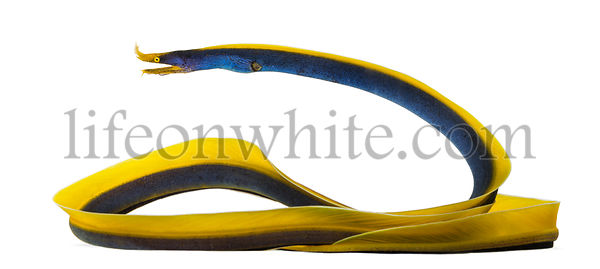 Side view of a Ribbon Eel, Rhinomuraena quaesita, isolated on white