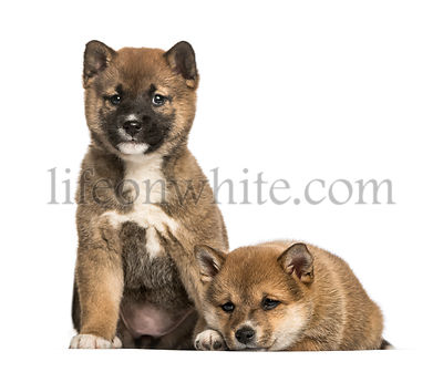 Shiba Inu puppies, 8 weeks old sitting against white background