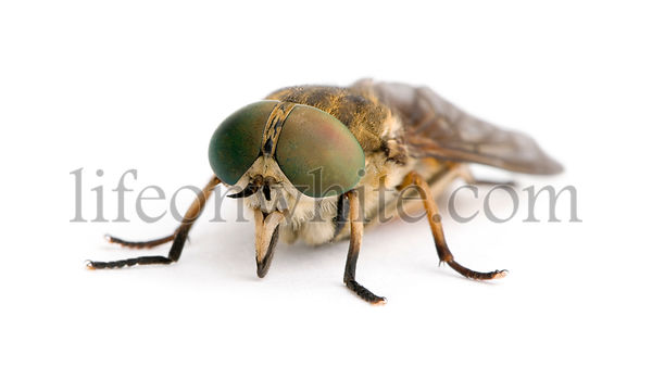 Pale giant horse-fly, Tabanus bovinus, in front of white background