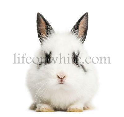 White rabbit sitting, isolated on white