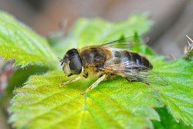 Closeup of a hoverfly wanting to be a bee , the tapered drone fly , Eristalis pertinax sunning on a green leaf