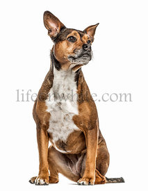 Crossbreed dog isolated on white