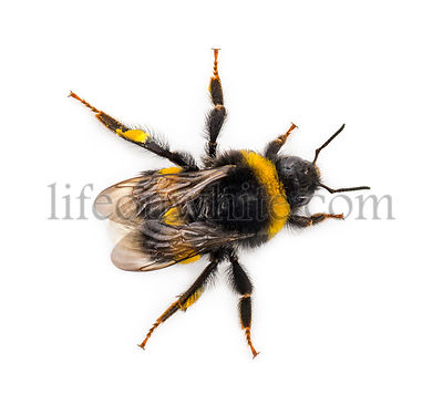 Top view of a Bumblebee