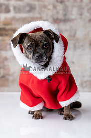 Small Brindle Pug Mix Wearing Red Hoodie