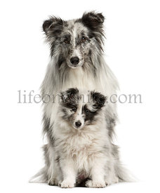 Shetland Sheepdog sitting with her puppy in front of a white background