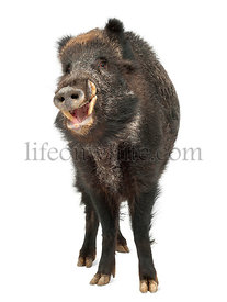 Wild boar, also wild pig, Sus scrofa, 15 years old, portrait standing against white background