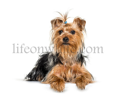 Yorkshire terrier lying against white background