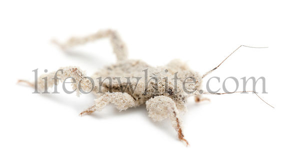Young masked hunter, Reduvius personatus, covered in dust against white background