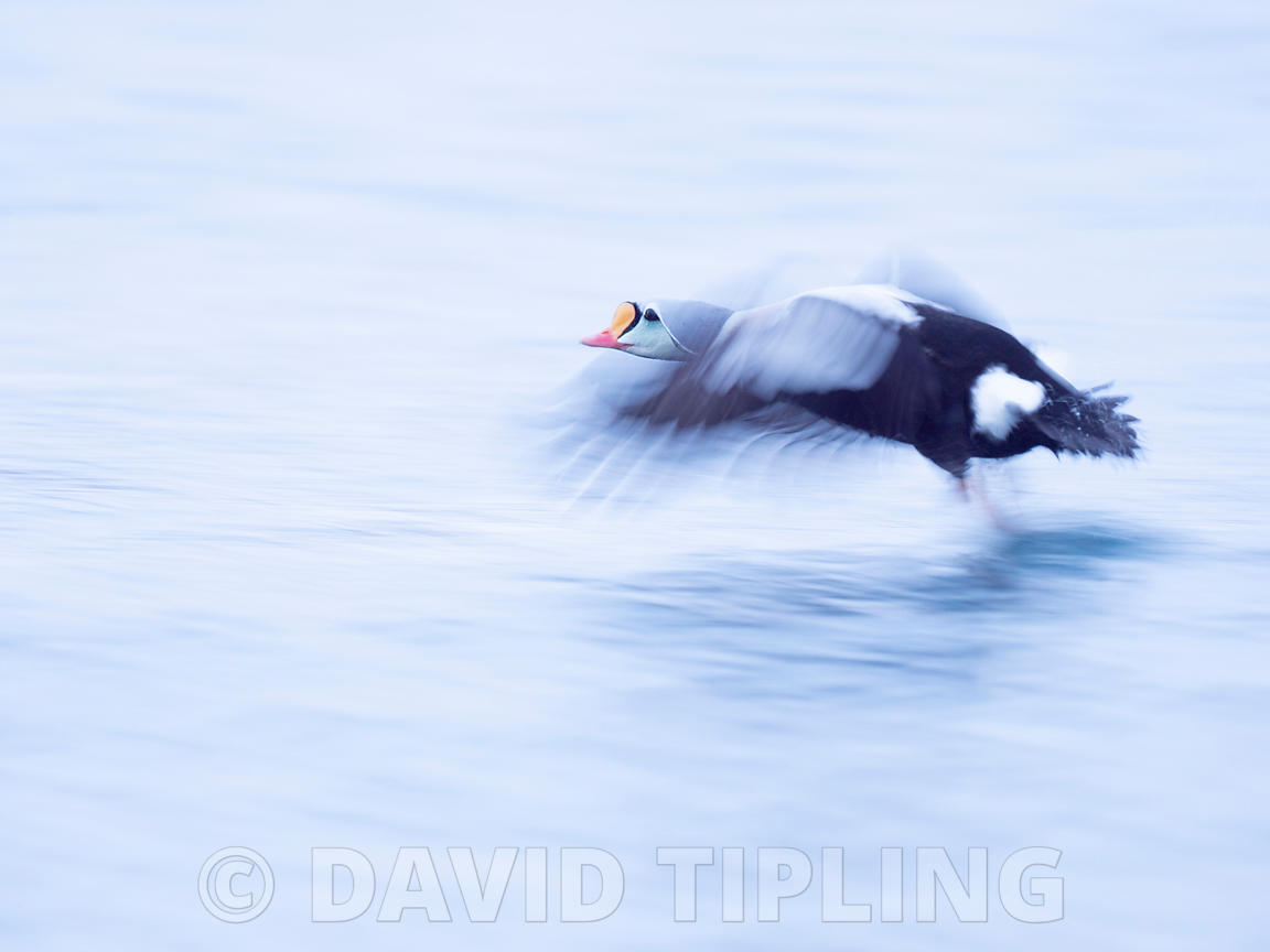 King Eider,  Somateria spectabilis male, Varanger Fjord, Arctic Norway, winter