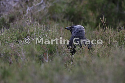 Western Jackdaw (Corvus monedula) on the ground in Heather (Ling) (Calluna vulgaris), Badenoch & Strathspey, Scottish Highlands