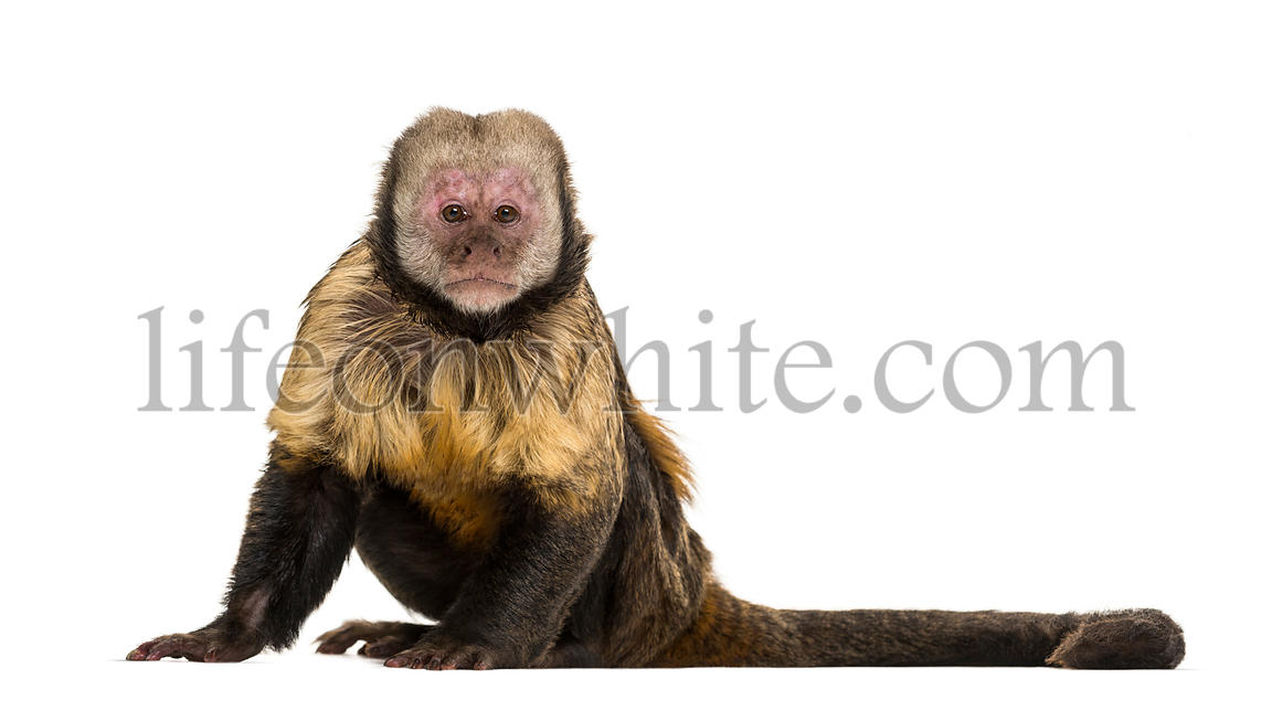 Golden-Bellied Capuchin, Sapajus xanthosternos, also known as the yellow-breasted or buffy-headed capuchin sitting against wh...