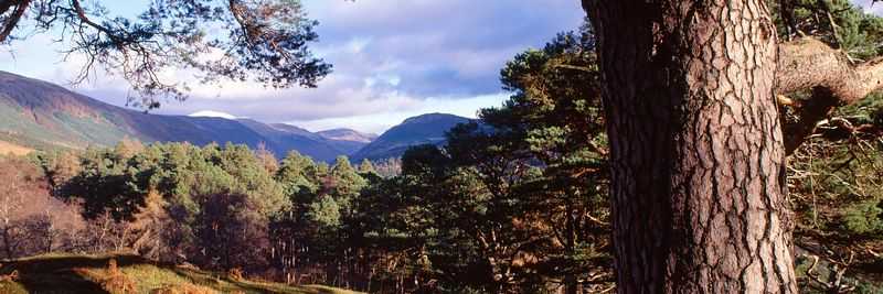 Image - Glen Lyon, Scotland, Scots Pine Tree, remnant Caledonian Forest