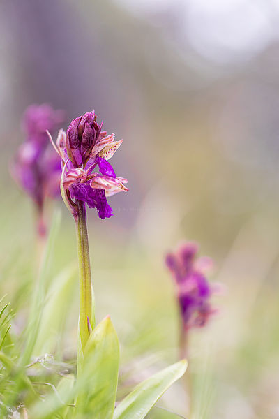 orchis spitzielli , trièves