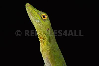 Amazon Green Anole  (Anolis punctatus)