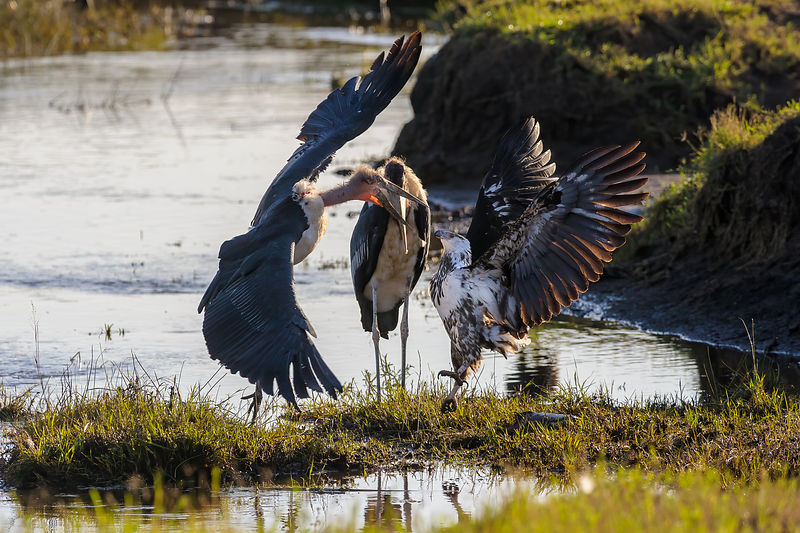 Fish Eagle vs Marabou Stork