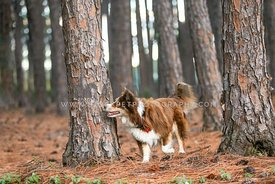 Australian shepherd in a forest