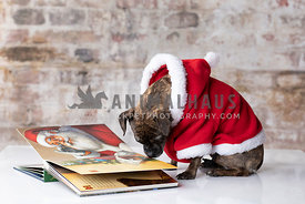 Small Brindle Pug Mix  Wearing Red Hoodie Looking at Christmas Book