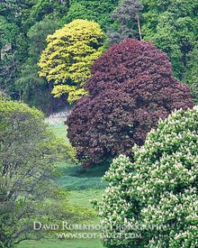 Image - Hillside trees in spring, including a Copper Beech tree, Blairlogie, Stirling, Scotland