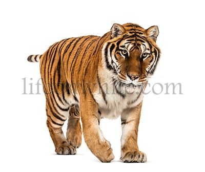 Tiger prowling and approaching, isolated